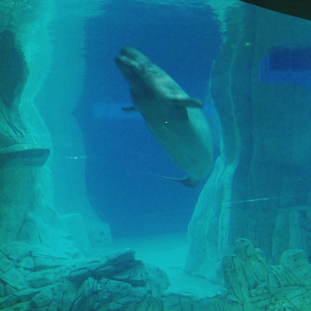 Beluga-oceanografic-whale