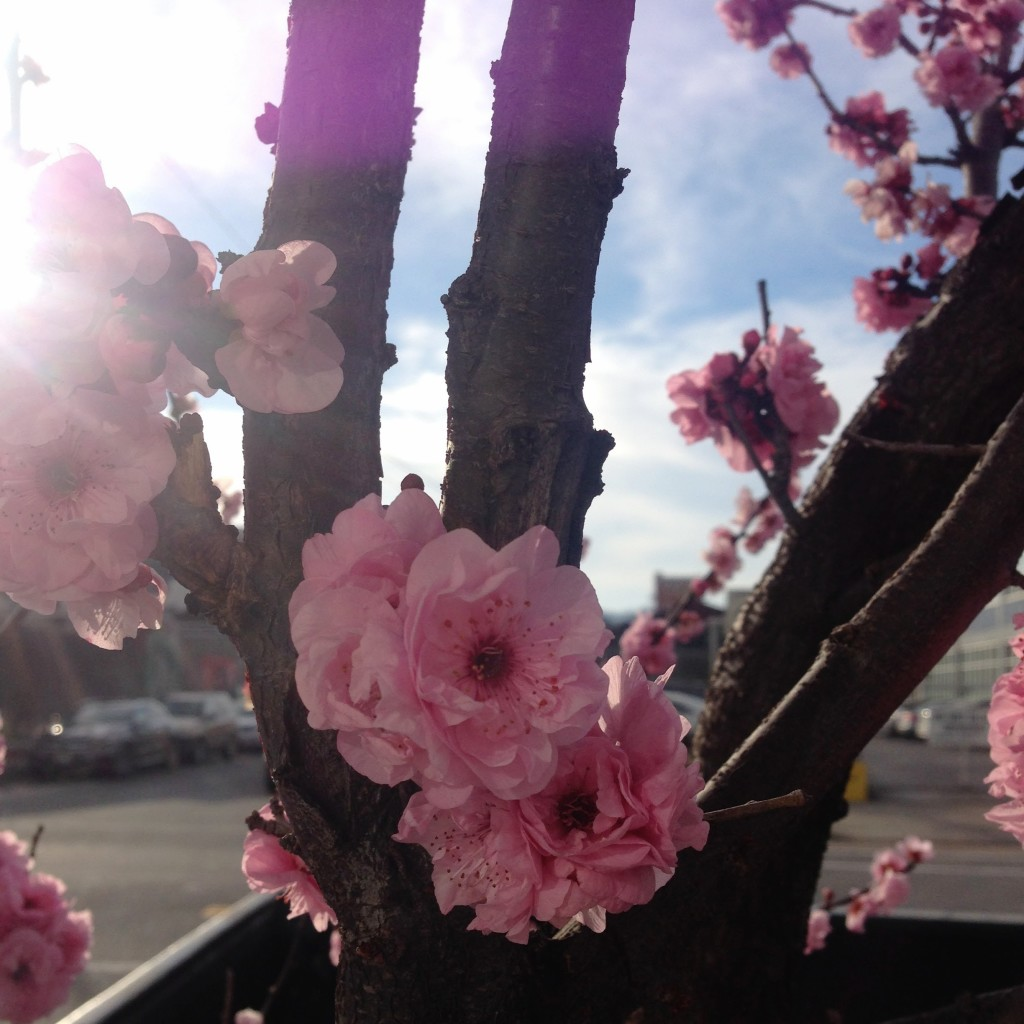 Cherry Blossoms-financial-freedom-with-a-budget