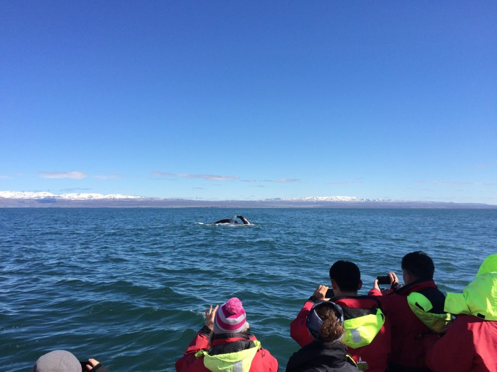 Iceland Ring Road Itinerary: Whale Watching